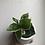 "Thumbnail: Hoya Krimson Queen in 4"" concrete planter"
