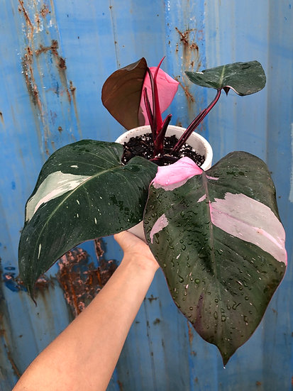 """E. Stassney Pickup: Pink Princess Philodendron in 6"""" cement"""