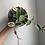 Thumbnail: Trailing Hoya Krimson Queen in ceramic planter