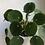 "Thumbnail: Pilea peperomioides in 5"" concrete planter"