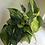 "Thumbnail: Philodendron brasil in 9"" tall Goddess planter"