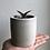 "Thumbnail: Jewel Orchid in 3"" concrete planter"
