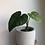 "Thumbnail: Philodendron Plowmanii in 5"" concrete planter"