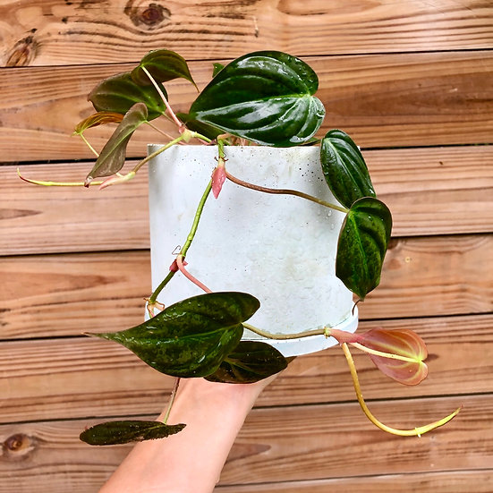 """E. Stassney pickup : Philodendron Micans in 6"""" shortie mint cement"""