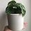 """Thumbnail: Watermelon Peperomia in 4.5"""" concrete planter"""