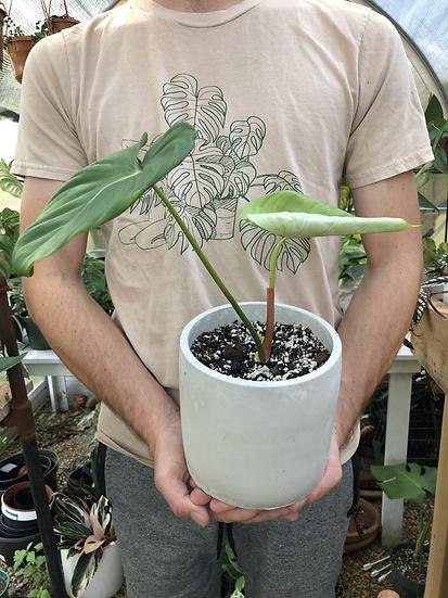 """Medium size Philodendron Pastazanum in 6"""" concrete planter"""