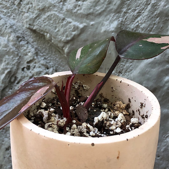 """Mueller Pick Up: Philodendron Pink Princess in Pink 4"""" cement pot with tray"""