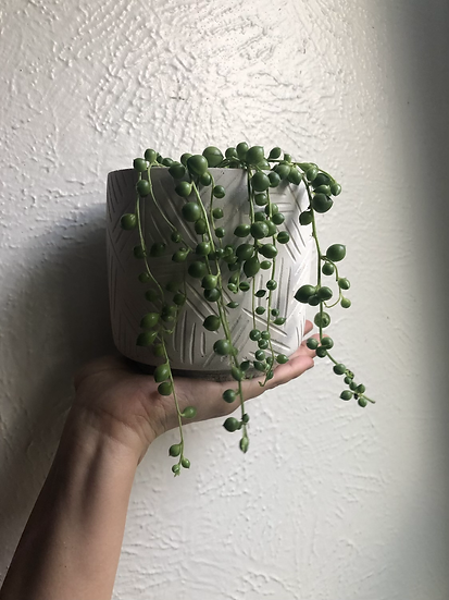 """String of pearls in 5"""" concrete tribal planter"""