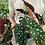 "Thumbnail: Begonia maculata in 7"" concrete planter"