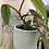 """Thumbnail: Philodendron red emerald erubescens in 6"""" concrete planter"""