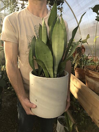 "Large Sansevieria Moonshine in 9"" concrete planter"