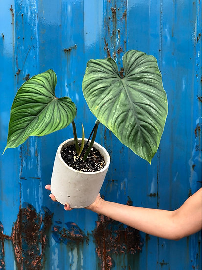 """Plowmanii Philodendron in 6"""" cement"""