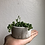 """Thumbnail: String of pearls in 2"""" concrete planter"""
