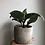 "Thumbnail: Zebra Plant in 4"" tulip concrete planter"
