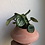 "Thumbnail: Peperomia Watermelon in 4"" diamond pot"