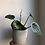 "Thumbnail: Watermelon Peperomia in 4.5"" concrete planter"