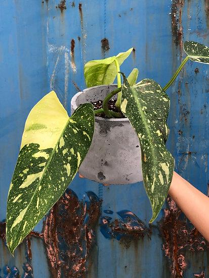 E. Stassney Pickup: Philodendron Jose Buono