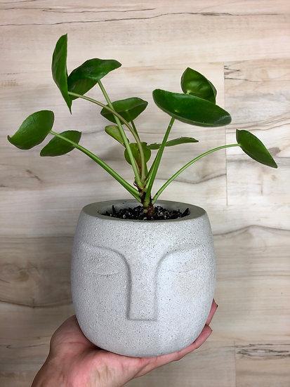 "Pilea in 5"" Cement Face Planter"