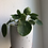 "Thumbnail: Pilea peperomioides in 6"" concrete planter"