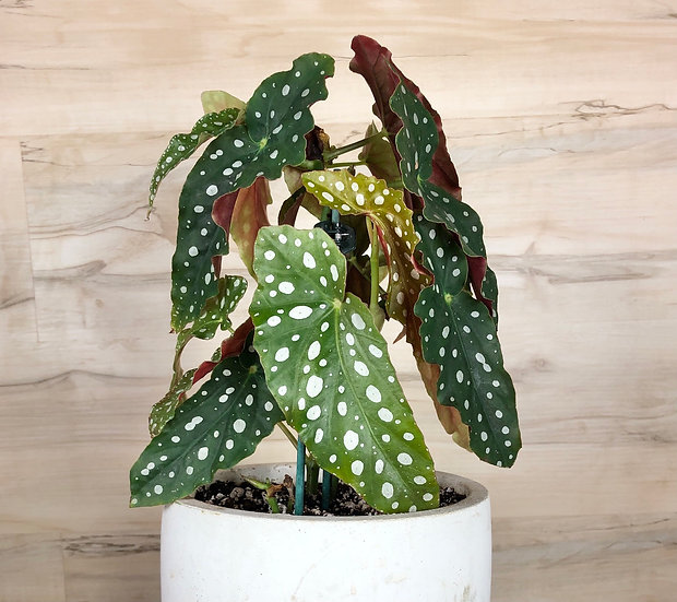 """Begonia Maculata """"Polka Dot Plant"""" in 7"""" cement"""