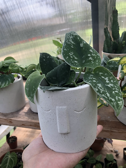 "Satin Pothos in 4"" concrete face planter"