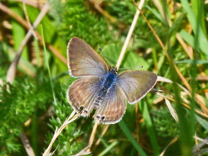Long-Tailed Blue