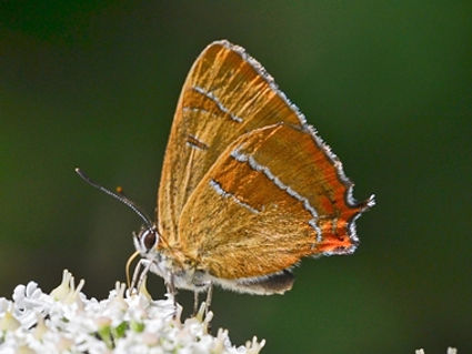 Brown_Hairstreak1_ShiptonB_30Jul20blog.j