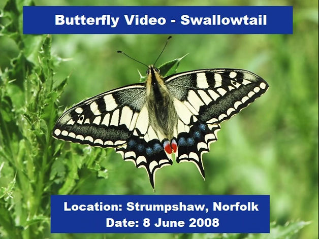The Swallowtail butterfly is arguably the UK's most exotic butterfly species. This short video shows several Swallowtails basking in the sunshine and feeding voraciously from flowers. It was recorded near Strumpshaw Fen in Norfolk.