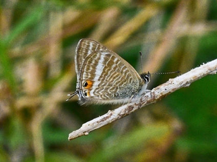 Long_Tailed_Blue4_Whitehawk_10Sep20blog.