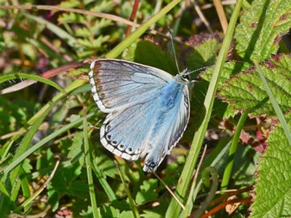 Chalkhill_Blue2_Portsdown_13Jul20blog.jp