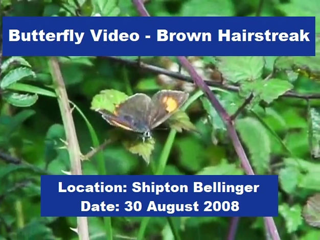 The Brown Hairstreak is one of Hampshire's rarest and most elusive butterflies. This short video shows a female Brown Hairstreak, firstly basking with open wings, then crawling through young blackthorn and displaying egg-laying behaviour. It is not clear if any eggs were actually laid. It was recorded near Shipton Bellinger in NW Hampshire.