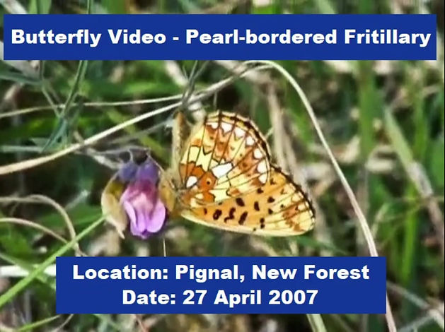 The Pearl-bordered Fritillary is the UK's first fritillary butterfly to emerge each spring, often during late April in southern England. It was recorded in the New Forest.