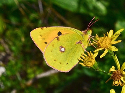 Clouded_Yellow1_Cissbury_ring_17Sep20blo