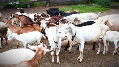high-angle-goats-at-farm_edited.jpg