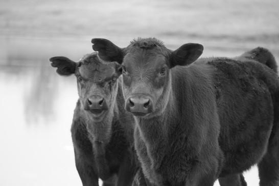 calves bw gallery.jpg