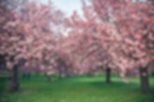 paris-photography-Parc-de-Sceaux-cherry-