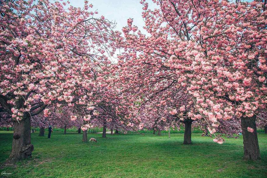 paris-photography-Parc-de-Sceaux-cherry-