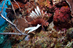 Lionfish - A Sustainable Industry on Curacao