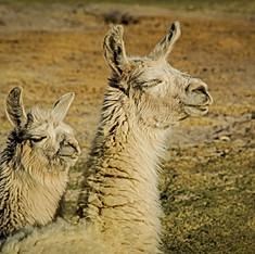 Lamas blancs