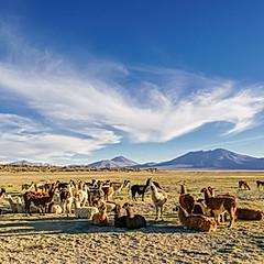 Lamas blancs, Lipez
