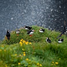 Macareux moines, Islande