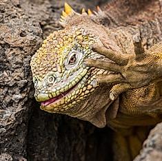 Iguane, Galapagos, Équateur