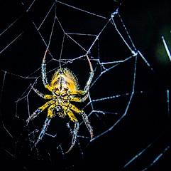 Araignée, Cuyabeno