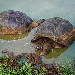 Tortues géantes des Galapagos