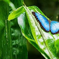 Morpho peleides, Costa Rica