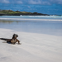 Iguane et bécasseau, Tortuga Bay, Galapagos