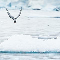 Sterne arctique, Antarctique