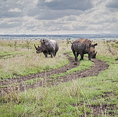 Rhinocéros noirs, Parc national de Nairobi