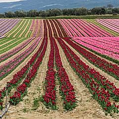 Champ de tulipes, Lurs