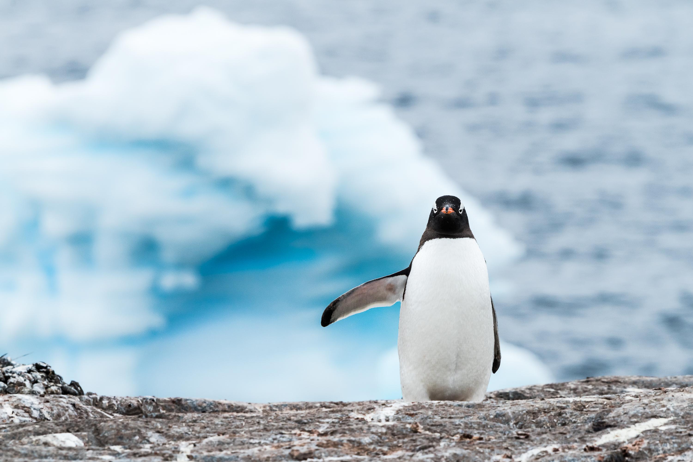 Manchot papou, Antarctique